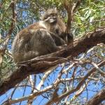 Sleepy Koala - relative of the wombat